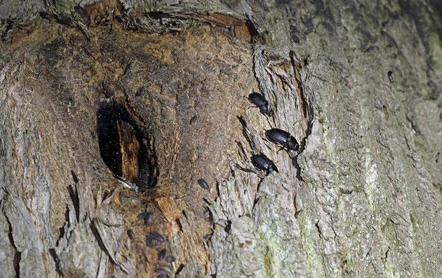 Lesse Stag Beetles (Dorcus parallelipipedus) feeding