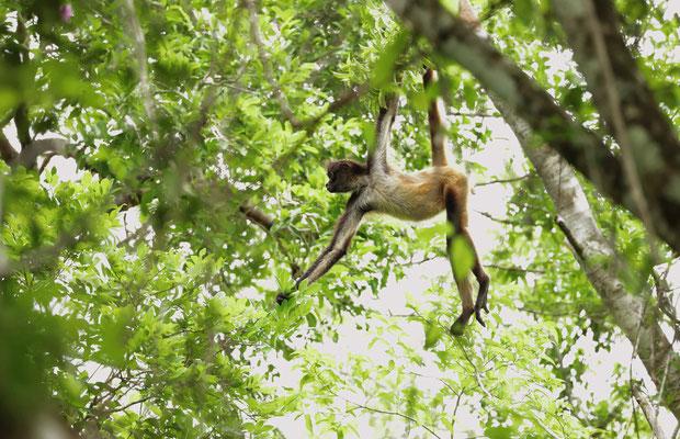 Central American Spider Monkey (Ateles geoffroyi yucatanensis)