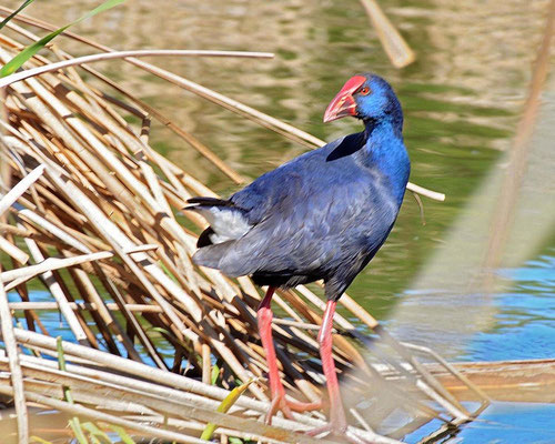 Purple Swamphen (Porphyrio porphyrio) © Paul Lambourne