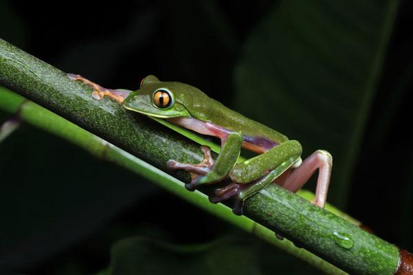 Golden-eyed Leaf Frog (Agalychnis annae)
