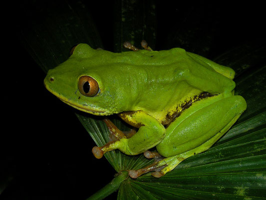 Seychelles Tree Frog (Tachycnemis seychellensis) very large female