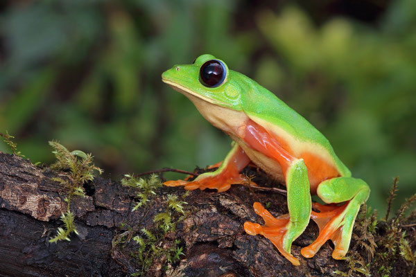 Black-eyed Leaf Frog (Agalychnis moreletii)