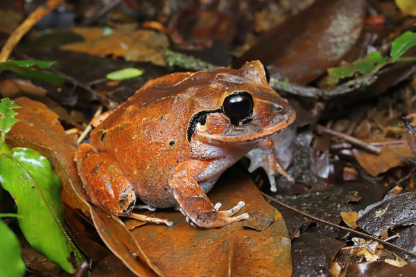 Although the juveniles are rather common, this was our only adult Atlantic Broad-headed Litter Frog (Craugastor megacephalus).