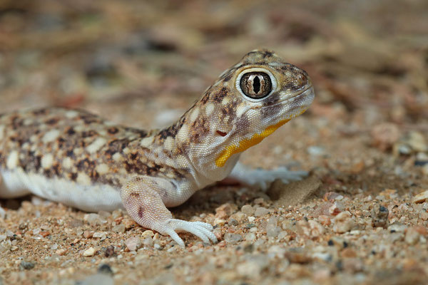 Spotted Barking Geckoes (Ptenopus garrulus) displaying the beautiful yellow throat patch.