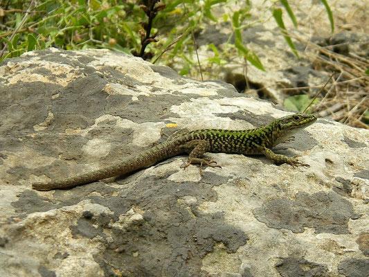 Italian Wall Lizard (Podarcis siculus), Menorca, Spain, July 2007