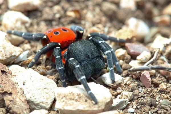 Ladybird Spider (Eresus moravicus)