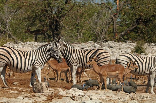 Burchell's Zebra (Equus quagga burchelli), Impala (Aepyceros melampus) and Helmeted Guineafowl (Numida meleagris).