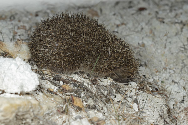 White-breasted Hedgehog (Erinaceus roumanicus)