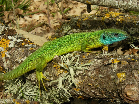 Western Green Lizard (Lacerta bilineata chloronota), Sicily, May 2014