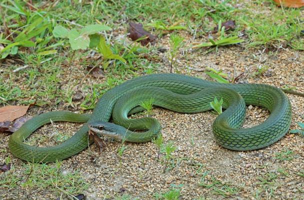 Cloud Forest Parrot Snake (Leptophis modestus)