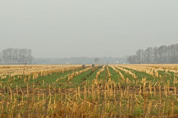 Cranes (Grus grus) foraging