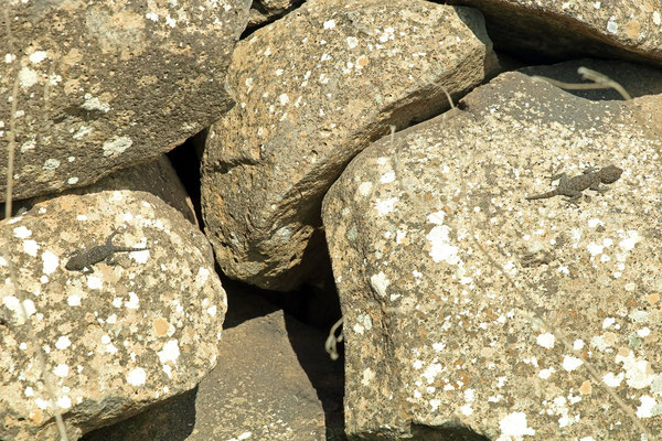 Israeli Fan-fingered Geckoes (Ptyodactylus puiseuxi) were in most places rather abundant.
