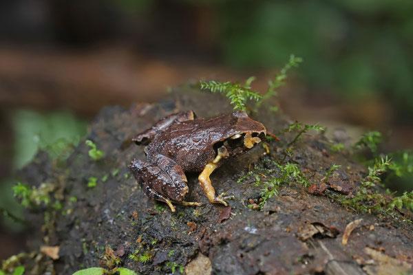Pacific Litter Frog (Craugastor stejnegerianus)