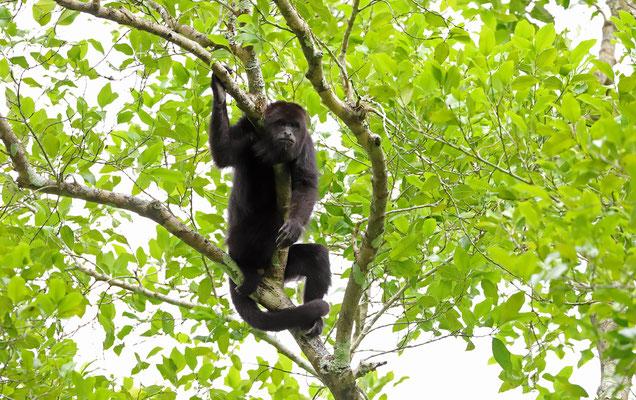 Yucatán Black Howler Monkeys (Alouatta pigra)