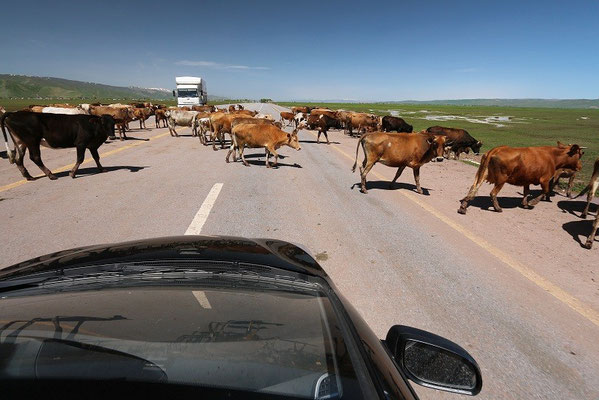 A minor roadblock on our journey back north, a frequent sight.