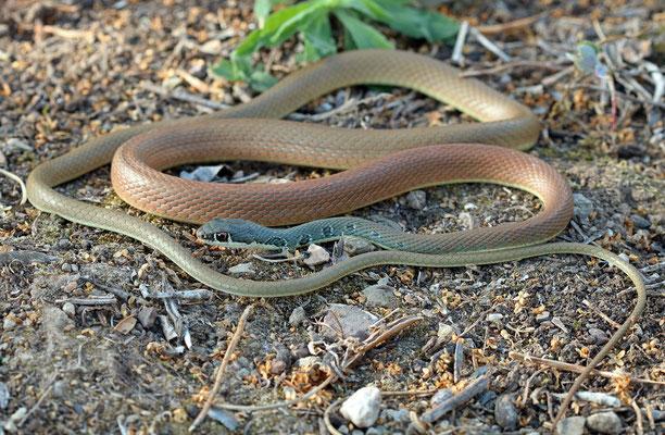 Dahl's Whip Snake (Platyceps najadum)