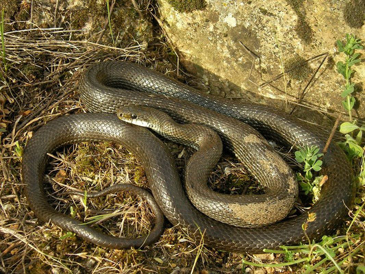Aesculapian Snake (Zamenis longissimus), Prespas lakes, Greece, May 2013