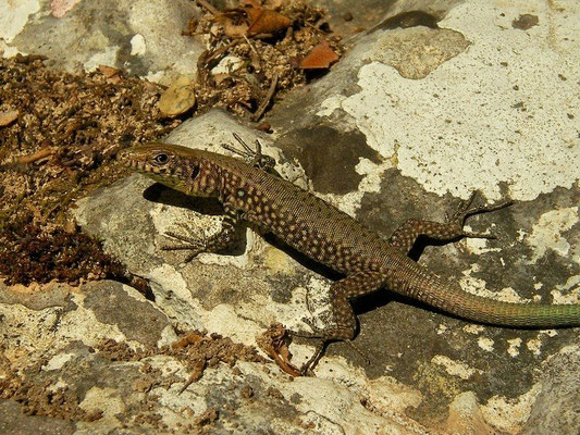 Greek Rock Lizard (Hellenolacerta graeca) juvenile, Peloponnese, Greece, October 2012