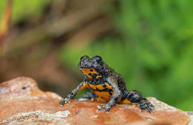 Yellow-bellied Toad (Bombina variegata pachypus)