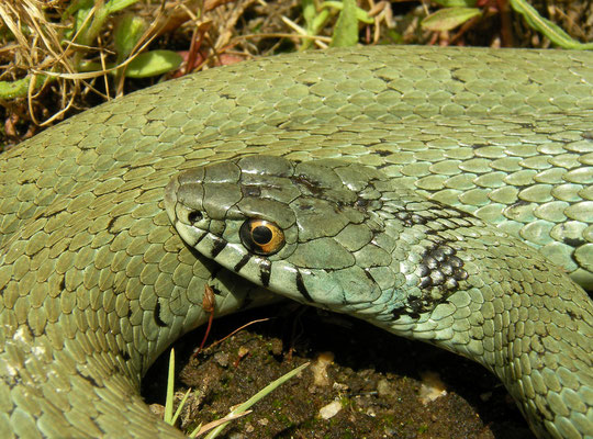 Grass Snake (Natrix astreptophora), Extremadura, Spain, August 2013