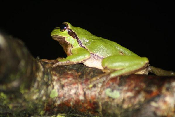 Tree Frog (Hyla arborea) male © Madeleine Wouda