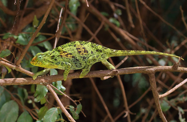 Rwenzori Three-horned Chameleon (Trioceros johnstoni) female