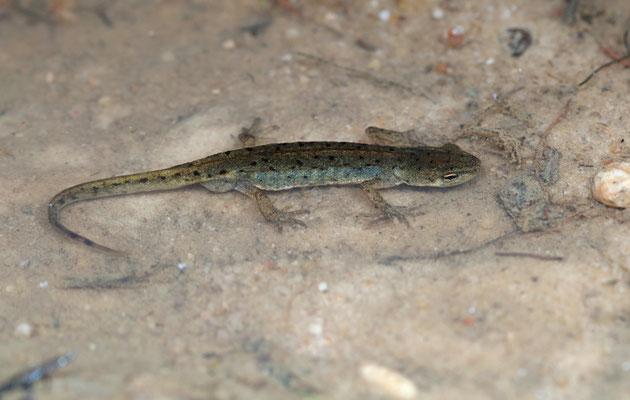 Iberian Newt (Lissotriton boscai)