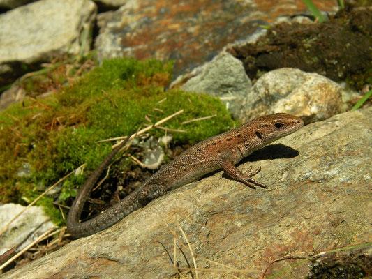 Viviparous Lizard (Zootoca vivipara carniolica)