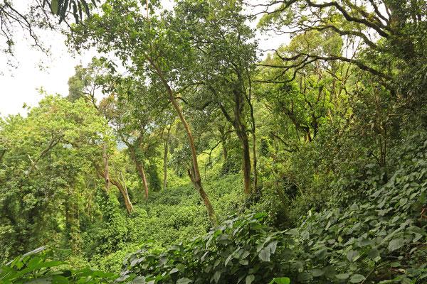 Habitat of Rwenzori Three-horned Chameleon and Boulenger's Pygmy Chameleon (Rhampholeon boulengeri)