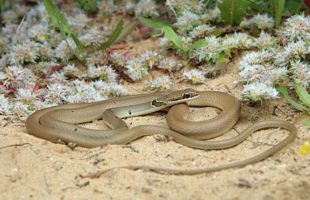 Reddish Whip Snake (Platyceps collaris), Nitsanim, Israel, February 2018