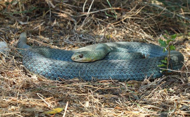 Eastern Montpellier Snake (Malpolon insignitus)
