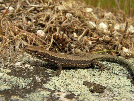 Leon Rock Lizard (Iberolacerta galani), Galicia, Spain, May 2012