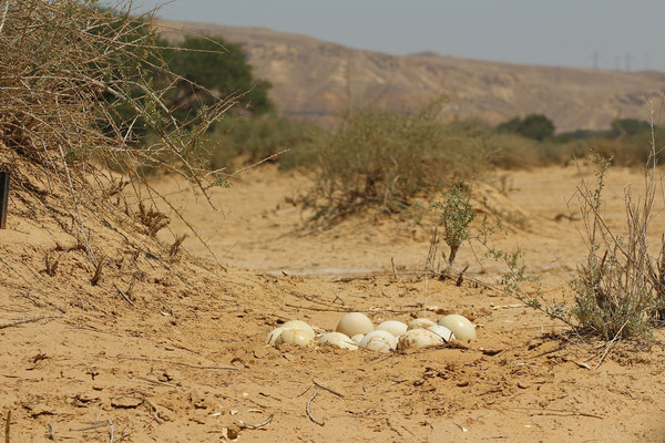 Ostrich (Struthio camelus) nest