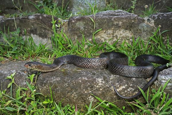 Blacktail Cribo (Drymarchon melanurus)
