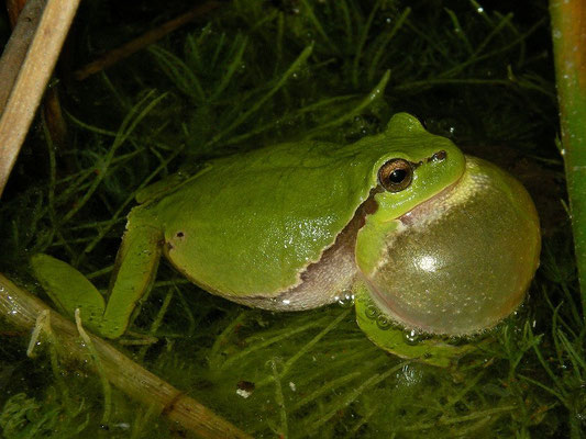 Tree Frog (Hyla arborea) calling male