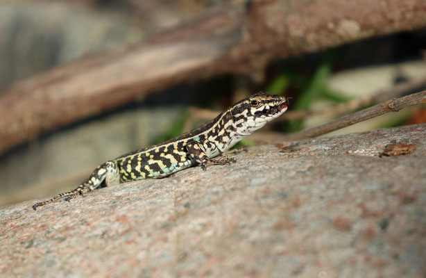 Tyrrhenian Wall Lizard (Podarcis tiliguerta) feeding on a small Hemipteran.