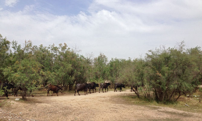 Herd of Water Buffalo (Bubalus bubalis) passing by.