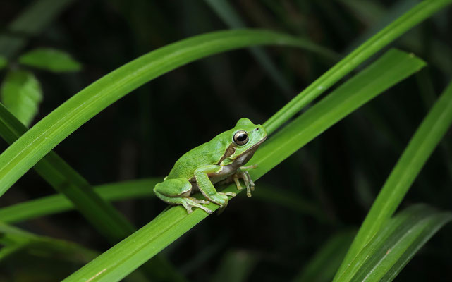 Tyrrhenian Tree Frog (Hyla sarda)