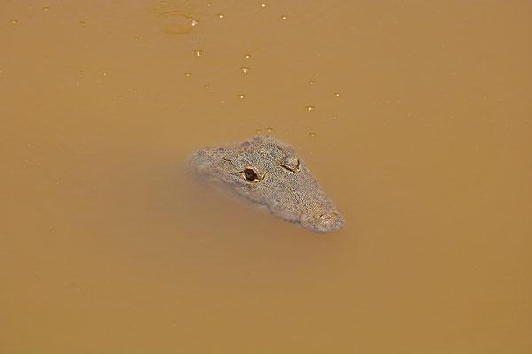 Mexican Crocodile (Crocodylus moreletii)