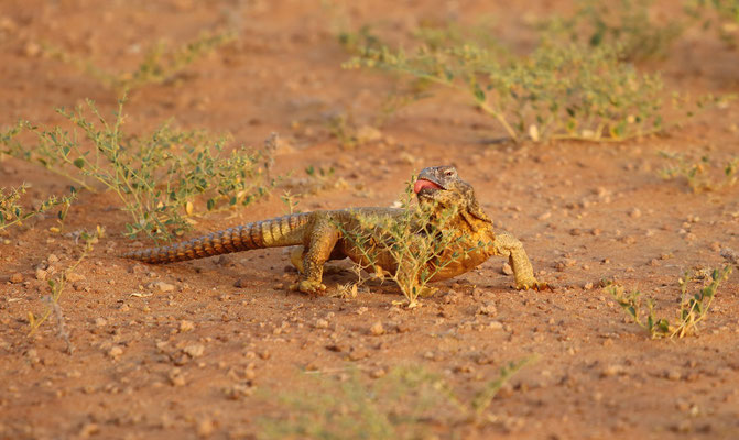 Egyptian Spiny-tailed Lizard (Uromastyx aegyptia leptieni) enjoying its spiky meal.