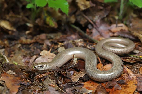 Slow Worm (Anguis fragilis) male