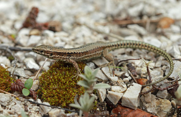 The more ground dwelling subspecies breviceps of the Common Wall Lizard (Podarcis muralis)