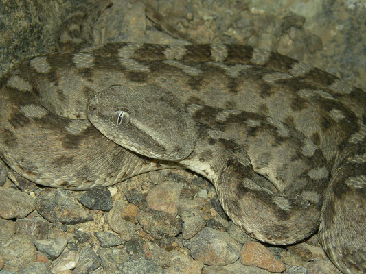 Oman Saw-scaled Viper (Echis omanensis)