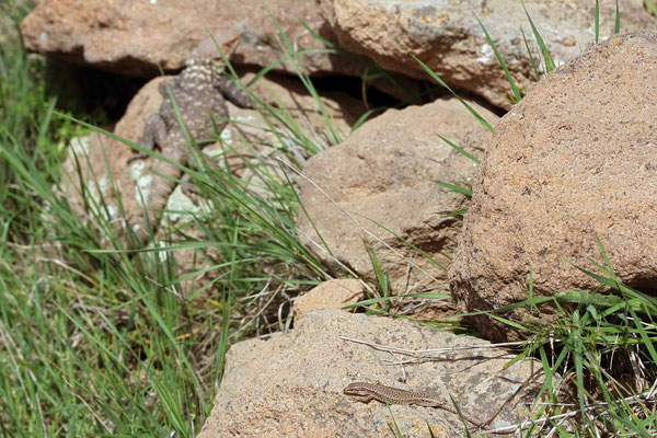 Alborz Lizard (Darevskia defilippii) and something bigger in the background...