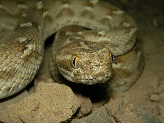 Saw-scaled Viper (Echis carinatus)