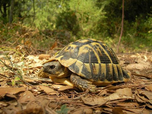 Hermann's Tortoise (Testudo hermanni), Menorca, Spain, August 2011