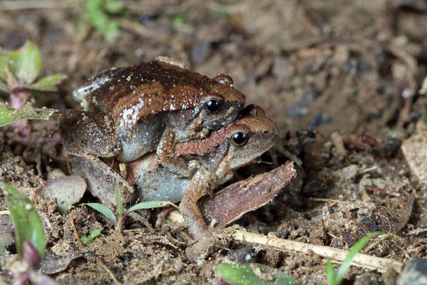 Dark-sided Chorus Frog (Microhyla heymonsi) amplexus