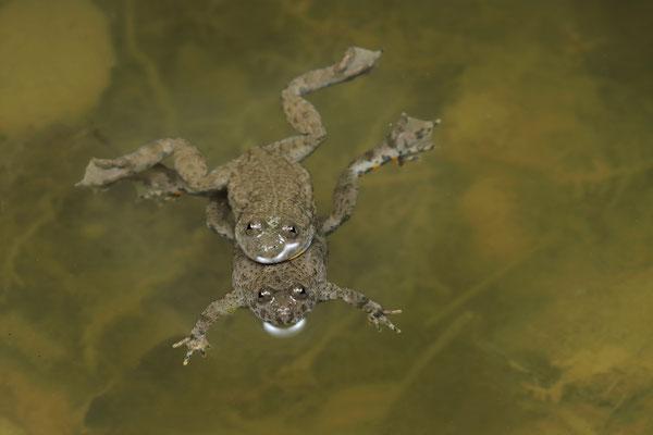 Yellow-bellied Toads (Bombina variegata) amplexus