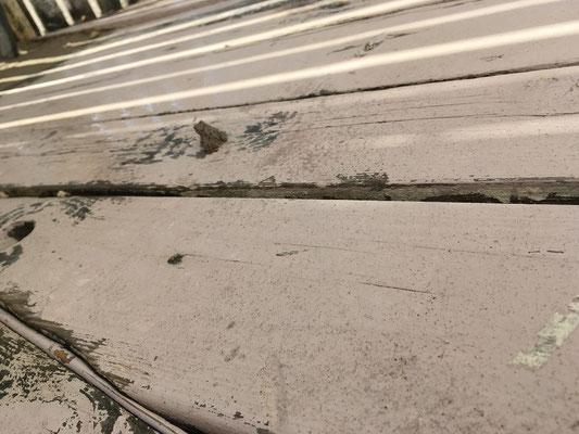 Many young Green Toads (Bufotes viridis) were hiding under the boardwalk. © Jesse Looren de Jong