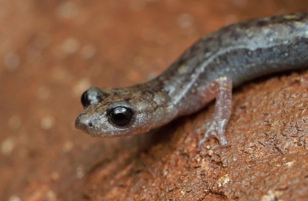 Gené's Cave Salamander (Speleomantes genei)